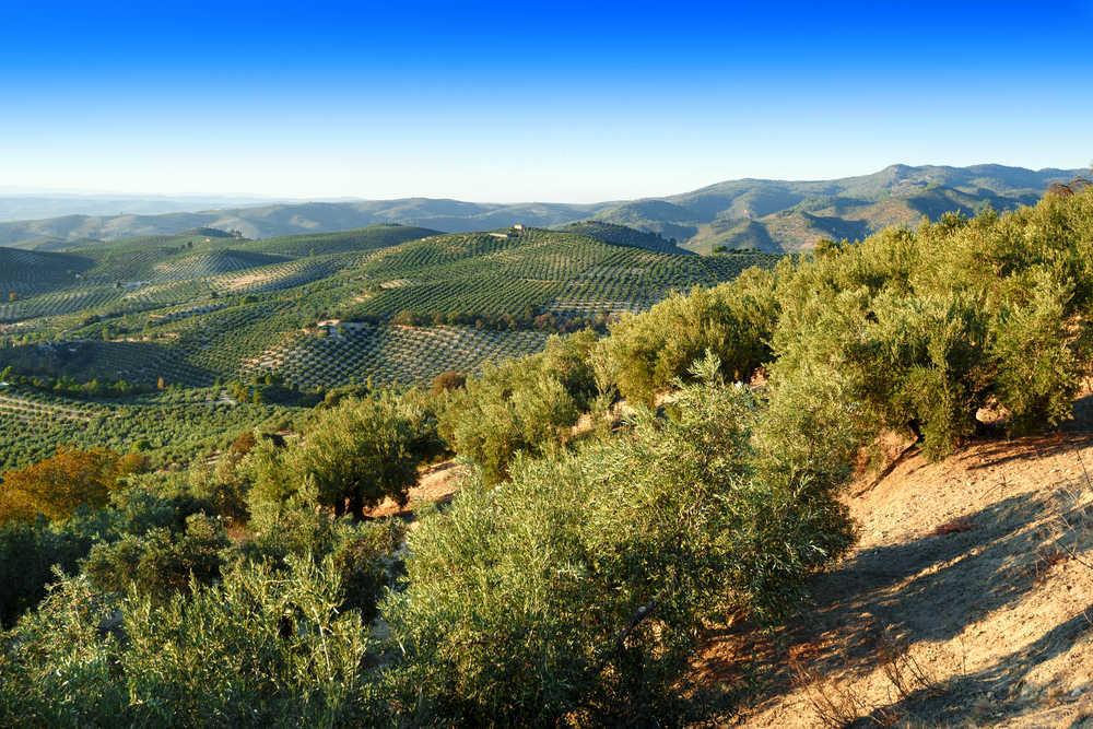Los mejores planes para disfrutar del oleoturismo en Jaén
